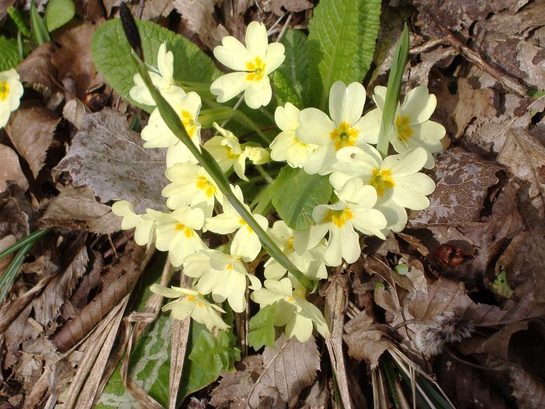 Flora alpina pagina 2 for Primule immagini